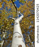 Poplar Tree In Autumn With...