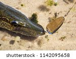 closeup of a northern pike jack ... | Shutterstock . vector #1142095658