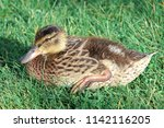 side view of a juvenile mallard ... | Shutterstock . vector #1142116205