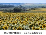 large fields of the blooming...   Shutterstock . vector #1142130998