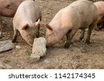 happy and dirty pigs on a open... | Shutterstock . vector #1142174345