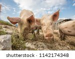 happy and dirty pigs on a open... | Shutterstock . vector #1142174348