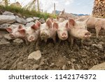 happy and dirty pigs on a open... | Shutterstock . vector #1142174372