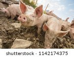 happy and dirty pigs on a open... | Shutterstock . vector #1142174375