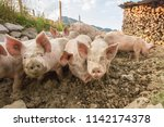 happy and dirty pigs on a open... | Shutterstock . vector #1142174378
