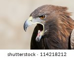 Screaming Golden Eagle Close Up