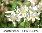 Small photo of White flowers of Madonna lily (Lilium candidum)