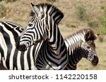 Black White Stripes Zebra - Fine Art prints