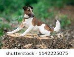 smooth fox terrier lies on a... | Shutterstock . vector #1142225075