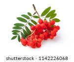 red ripe bunch of rowan with... | Shutterstock . vector #1142226068