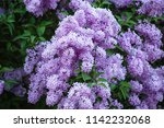 purple lilac background | Shutterstock . vector #1142232068