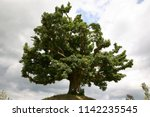 a huge solitary sycamore tree... | Shutterstock . vector #1142235545
