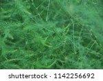 Foliage Of Asparagus. Green...