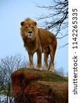 Young Male Lion Standing On A...