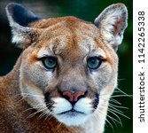 Close Up Of Mountain Lion...