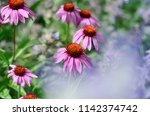 echinacea and lavender flowers | Shutterstock . vector #1142374742