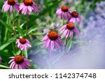 echinacea and lavender flowers | Shutterstock . vector #1142374748