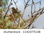 sparrow. couple of sparrows... | Shutterstock . vector #1142375138