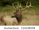 Redwoods Elk. Northern California Wildlife Photo Collection. Adult Elk. - stock photo