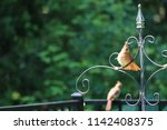 female northern cardinal... | Shutterstock . vector #1142408375