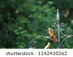 female northern cardinal... | Shutterstock . vector #1142410262