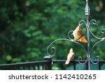 female northern cardinal... | Shutterstock . vector #1142410265