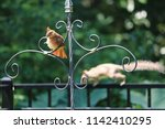 female northern cardinal... | Shutterstock . vector #1142410295