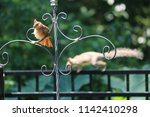 female northern cardinal... | Shutterstock . vector #1142410298