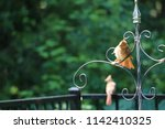 female northern cardinal... | Shutterstock . vector #1142410325