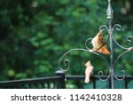 female northern cardinal... | Shutterstock . vector #1142410328