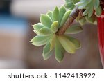 green succulent potted plants... | Shutterstock . vector #1142413922