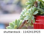 green succulent potted plants... | Shutterstock . vector #1142413925