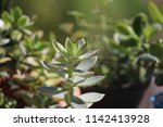 green succulent potted plants... | Shutterstock . vector #1142413928