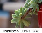 green succulent potted plants... | Shutterstock . vector #1142413952