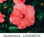 beautiful pink hibiscus flowers | Shutterstock . vector #1142448725
