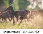 herd of red deer between tall...   Shutterstock . vector #1142603765