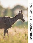 red deer doe in meadow in...   Shutterstock . vector #1142603768