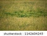 detail of tall grass in meadow.   Shutterstock . vector #1142604245