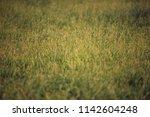 detail of tall grass in meadow.   Shutterstock . vector #1142604248