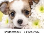 Adorable Chihuahua Puppy With...