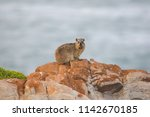 Close Up Image Of Rock Hyrax...