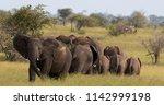 african elephant family  kruger ... | Shutterstock . vector #1142999198