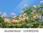 Blossoming Tropical Acacia...