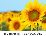 Sunflower natural background....
