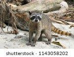crab eating raccoon  procyon... | Shutterstock . vector #1143058202