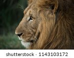 Small photo of wild lion portrait