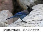 a steller's jay  cyanocitta... | Shutterstock . vector #1143146945