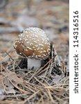 Small photo of Death Cap Fungi - Amanita phalloides Growing on Cotswold Beechwood floor