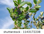 aronia berries  aronia...   Shutterstock . vector #1143172238