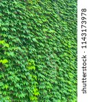 ivy green background  | Shutterstock . vector #1143173978